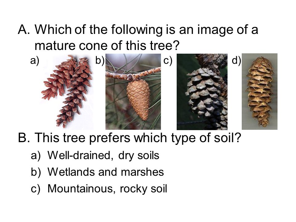 A.Which of the following is an image of a mature cone of this tree? B.This tree prefers which type of soil? a)Well-drained, dry soils b)Wetlands and m