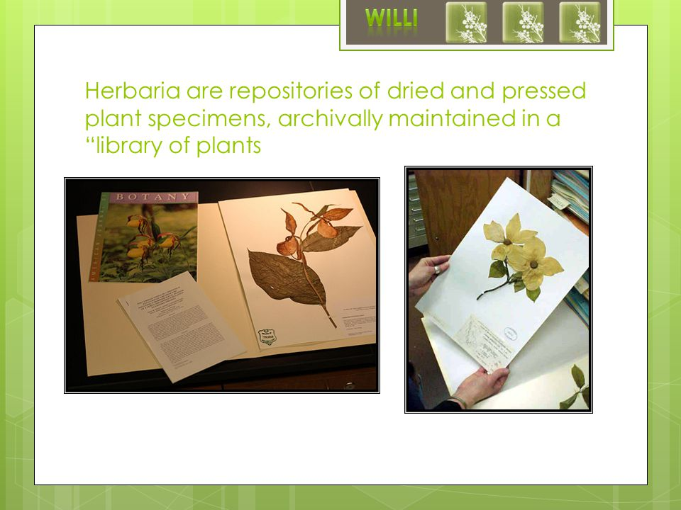 Herbaria are repositories of dried and pressed plant specimens, archivally maintained in a library of plants