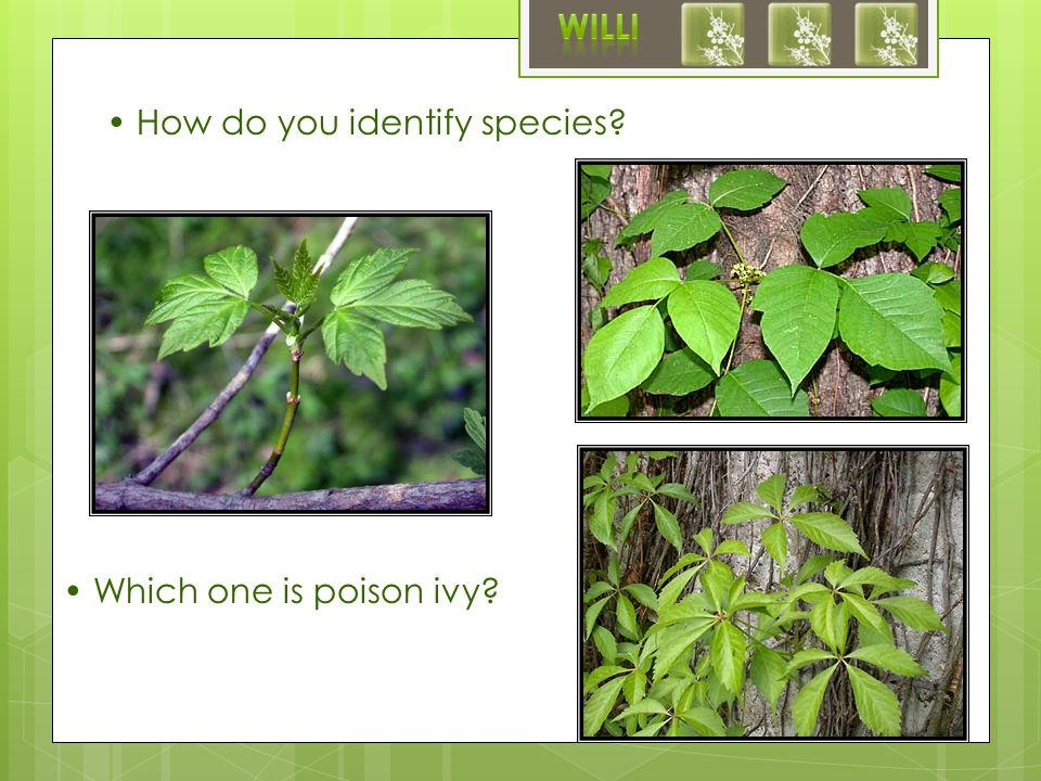 How do you identify species Which one is poison ivy