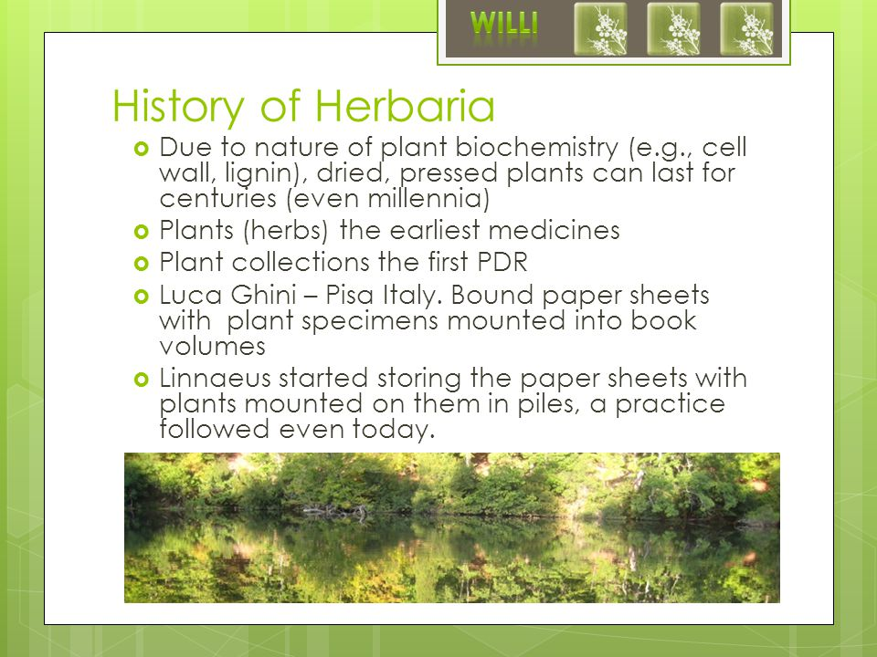 History of Herbaria  Due to nature of plant biochemistry (e.g., cell wall, lignin), dried, pressed plants can last for centuries (even millennia)  Plants (herbs) the earliest medicines  Plant collections the first PDR  Luca Ghini – Pisa Italy.