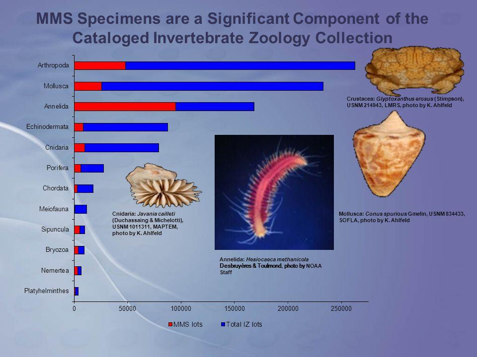 Mollusca: Conus spurious Gmelin, USNM 834433, SOFLA, photo by K.