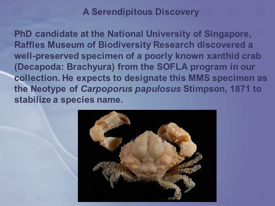 A Serendipitous Discovery PhD candidate at the National University of Singapore, Raffles Museum of Biodiversity Research discovered a well-preserved specimen of a poorly known xanthid crab (Decapoda: Brachyura) from the SOFLA program in our collection.