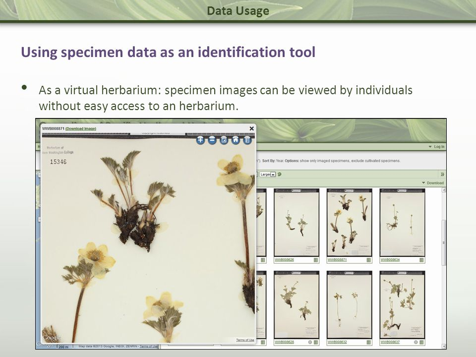Data Usage Using specimen data as an identification tool As a virtual herbarium: specimen images can be viewed by individuals without easy access to an herbarium.