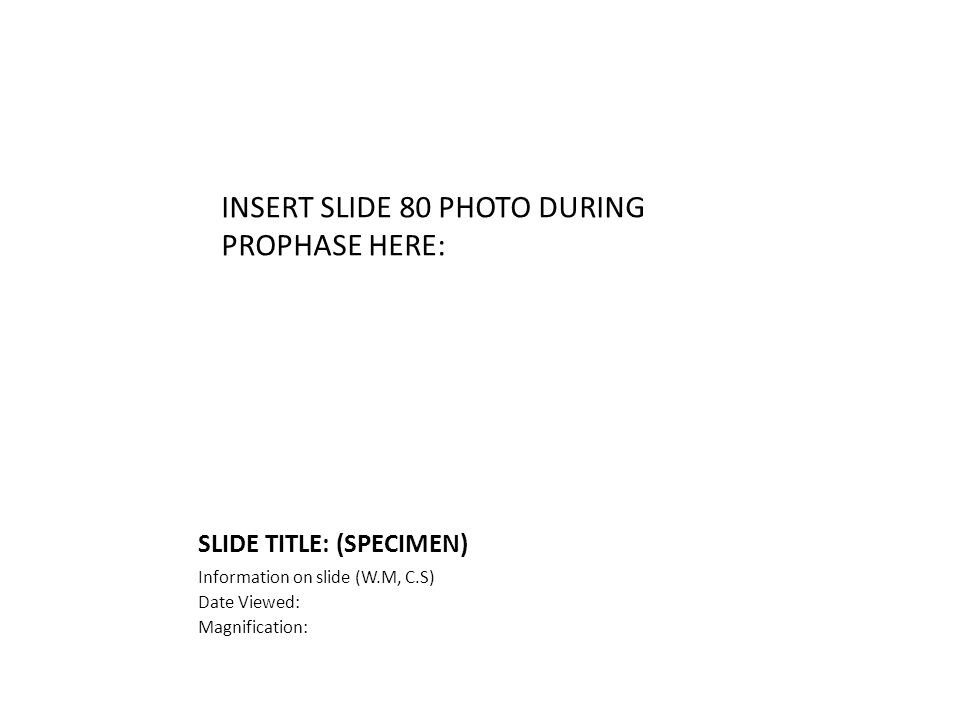 SLIDE TITLE: (SPECIMEN) Information on slide (W.M, C.S) Date Viewed: Magnification: INSERT SLIDE 80 PHOTO DURING PROPHASE HERE: