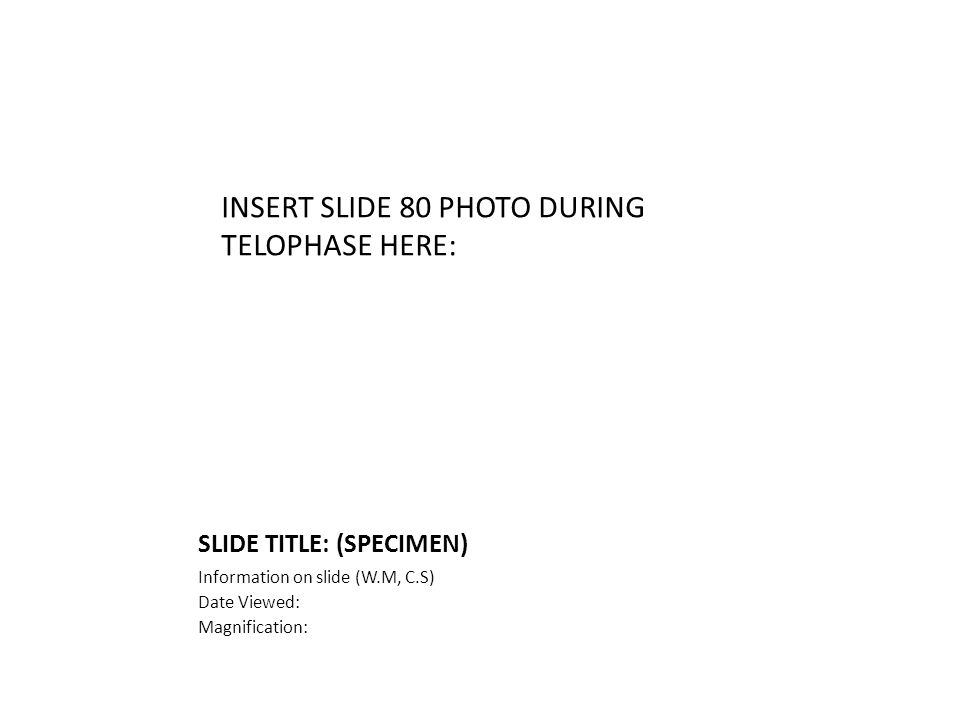 SLIDE TITLE: (SPECIMEN) Information on slide (W.M, C.S) Date Viewed: Magnification: INSERT SLIDE 80 PHOTO DURING TELOPHASE HERE:
