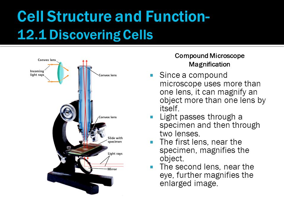  Since a compound microscope uses more than one lens, it can magnify an object more than one lens by itself.  Light passes through a specimen and th