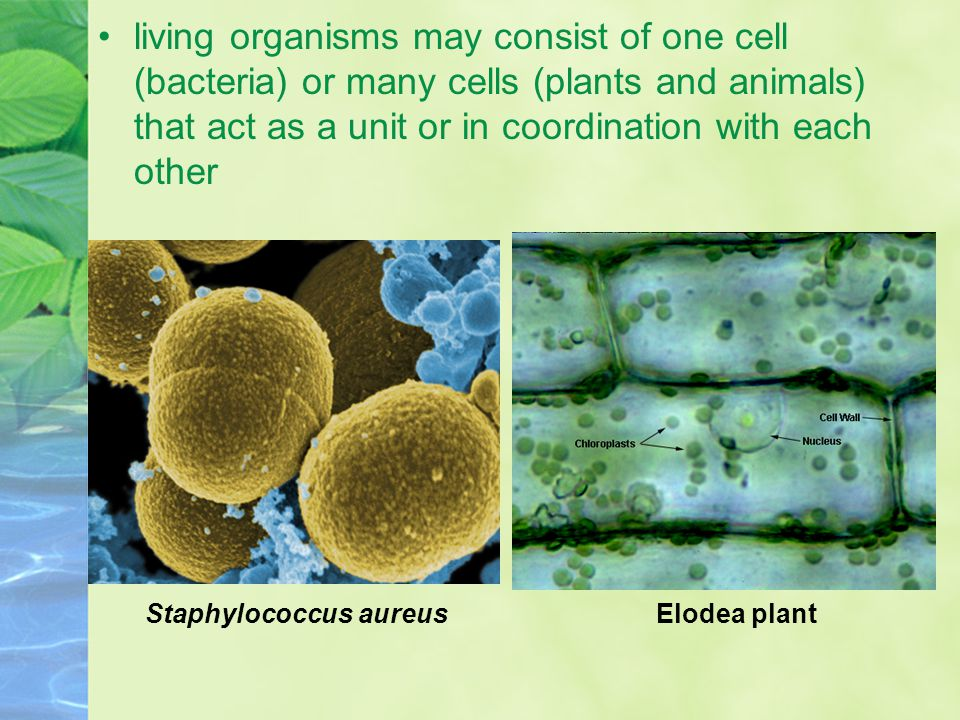 living organisms may consist of one cell (bacteria) or many cells (plants and animals) that act as a unit or in coordination with each other Staphyloc