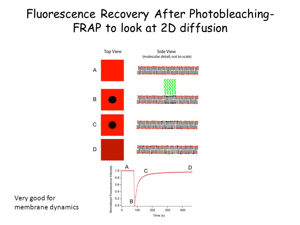 Fluorescence Recovery After Photobleaching- FRAP to look at 2D diffusion Very good for membrane dynamics