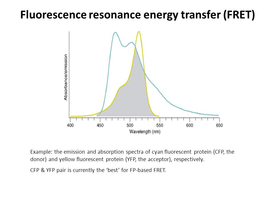 Example: the emission and absorption spectra of cyan fluorescent protein (CFP, the donor) and yellow fluorescent protein (YFP, the acceptor), respectively.