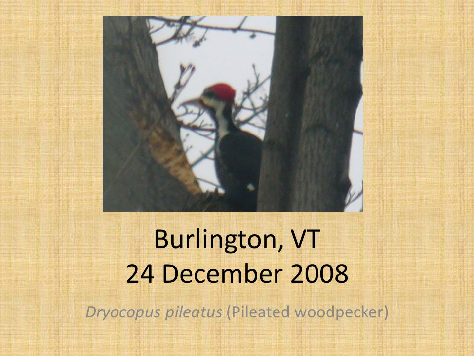 Burlington, VT 24 December 2008 Dryocopus pileatus (Pileated woodpecker)