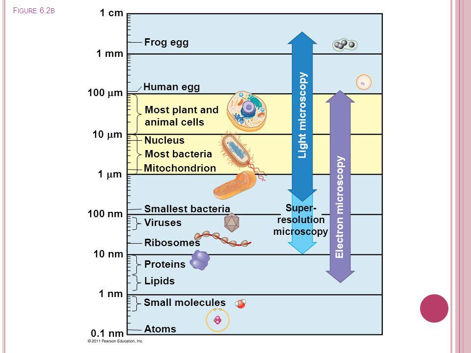 F IGURE 6.2 B 1 mm 100  m 10  m 1  m 100 nm 10 nm 1 nm 0.1 nm Atoms Small molecules Lipids Proteins Ribosomes Viruses Smallest bacteria Mitochondri