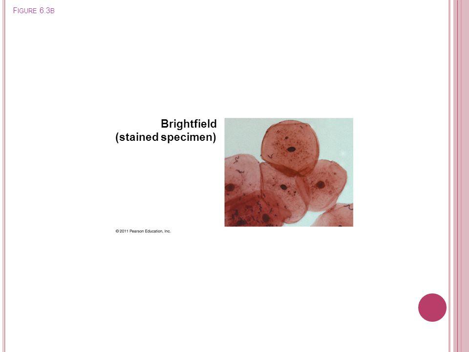 F IGURE 6.3 B Brightfield (stained specimen)