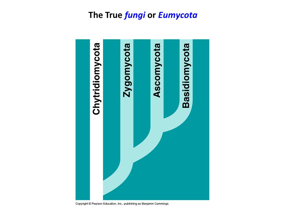 The True fungi or Eumycota