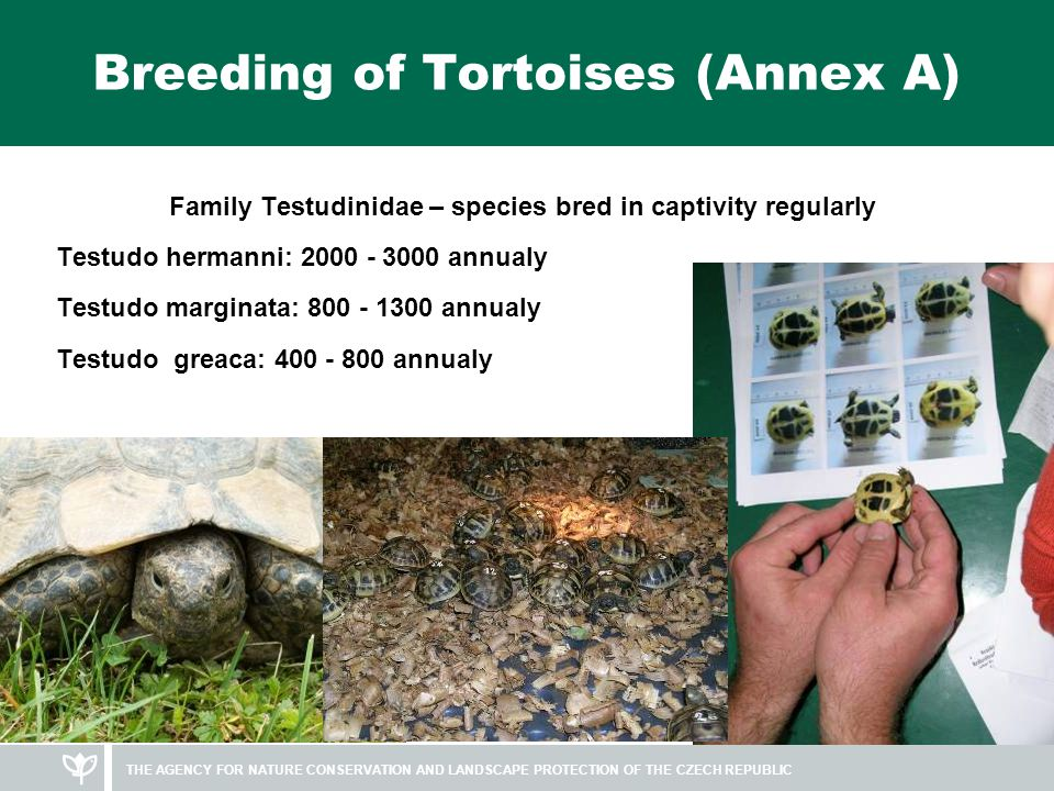 THE AGENCY FOR NATURE CONSERVATION AND LANDSCAPE PROTECTION OF THE CZECH REPUBLIC Breeding of Tortoises (Annex A) Family Testudinidae – species bred in captivity regularly Testudo hermanni: 2000 - 3000 annualy Testudo marginata: 800 - 1300 annualy Testudo greaca: 400 - 800 annualy