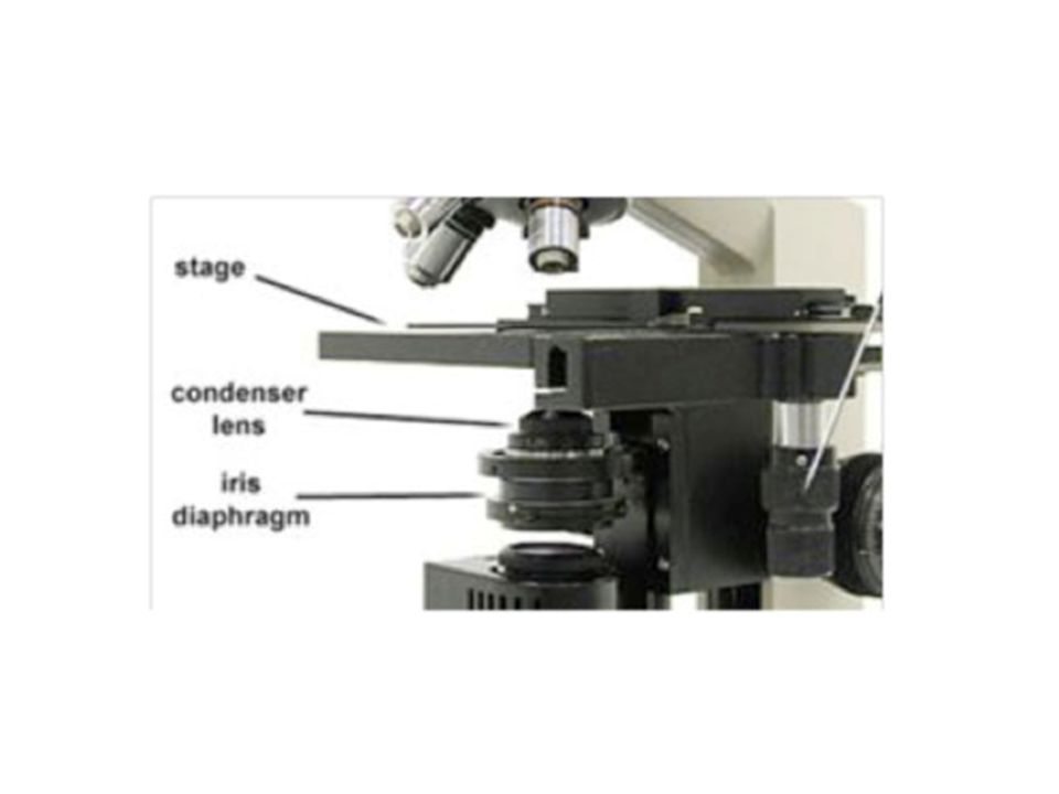 Total Magnification Total Magnification = Objective lens power * Ocular lens power So if: – Ocular = 10x – Objective = 45x – Total Magnification =