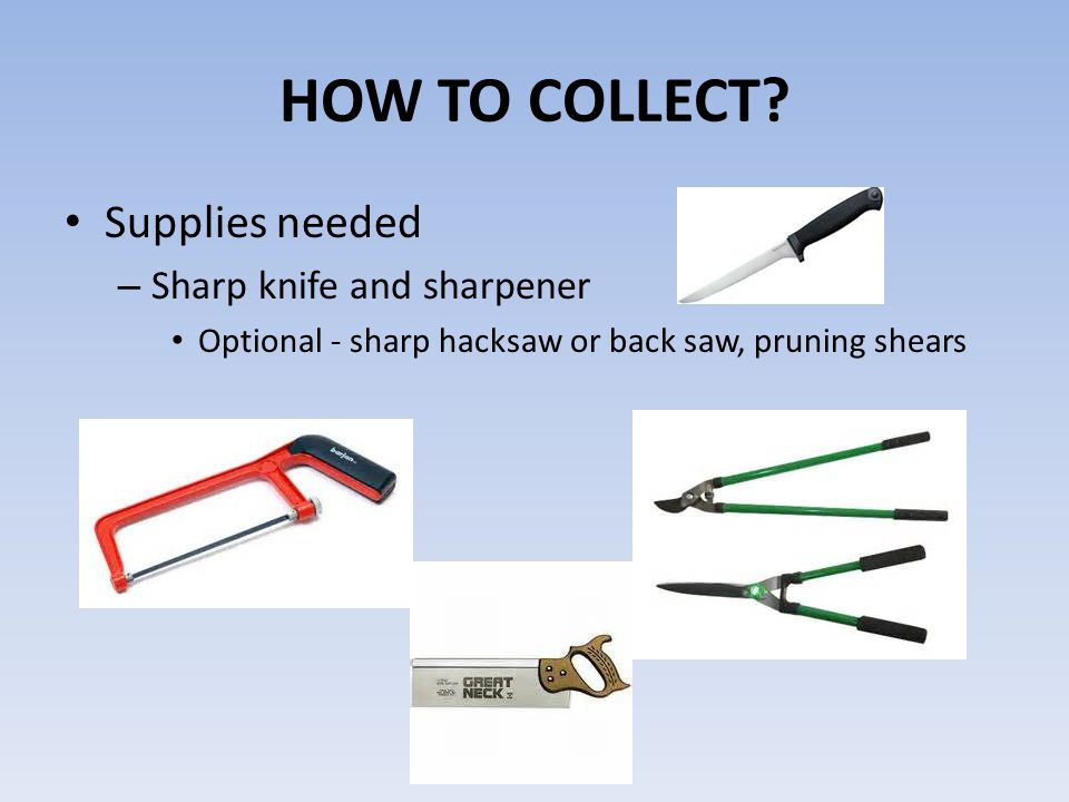 HOW TO COLLECT? Supplies needed – Sharp knife and sharpener Optional - sharp hacksaw or back saw, pruning shears