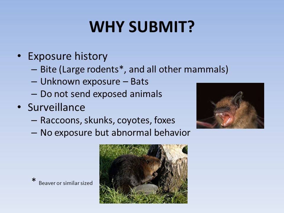 WHY SUBMIT? Exposure history – Bite (Large rodents*, and all other mammals) – Unknown exposure – Bats – Do not send exposed animals Surveillance – Rac