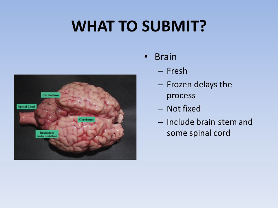 WHAT TO SUBMIT? Brain – Fresh – Frozen delays the process – Not fixed – Include brain stem and some spinal cord