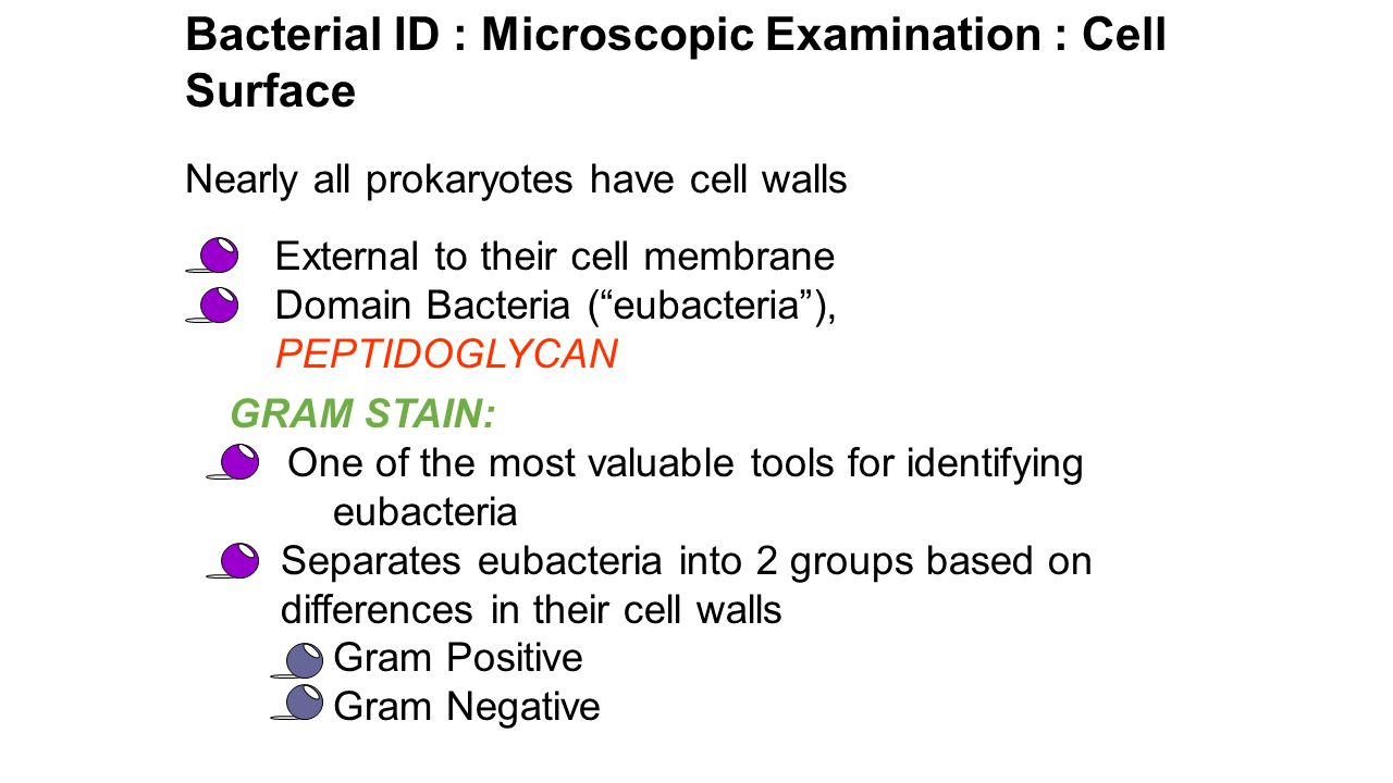 Bacterial ID : Microscopic Examination : Cell Surface Nearly all prokaryotes have cell walls External to their cell membrane Domain Bacteria ( eubacteria ), PEPTIDOGLYCAN GRAM STAIN: One of the most valuable tools for identifying eubacteria Separates eubacteria into 2 groups based on differences in their cell walls Gram Positive Gram Negative