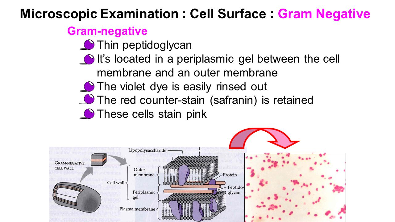 Microscopic Examination : Cell Surface : Gram Negative Gram-negative Thin peptidoglycan It's located in a periplasmic gel between the cell membrane and an outer membrane The violet dye is easily rinsed out The red counter-stain (safranin) is retained These cells stain pink