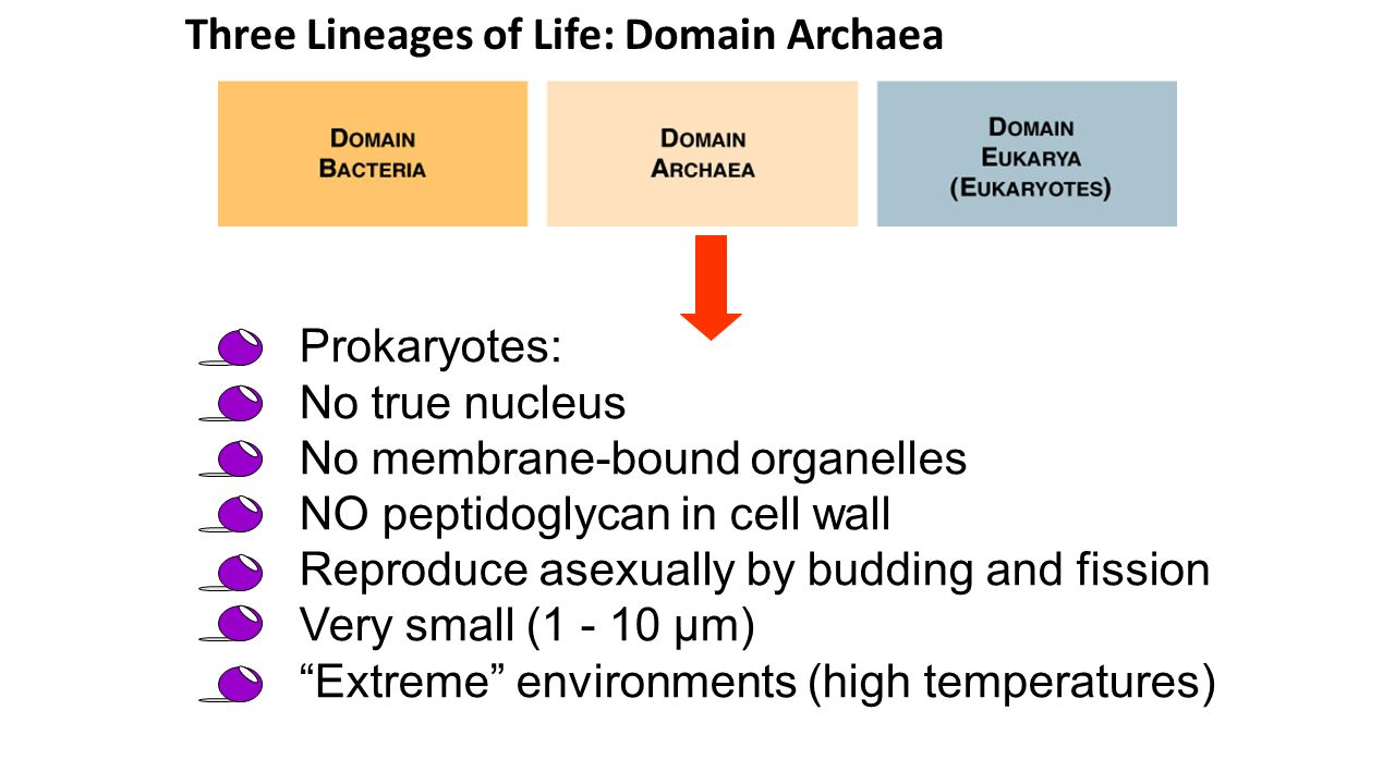 Three Lineages of Life: Domain Archaea Prokaryotes: No true nucleus No membrane-bound organelles NO peptidoglycan in cell wall Reproduce asexually by budding and fission Very small (1 - 10 µm) Extreme environments (high temperatures)