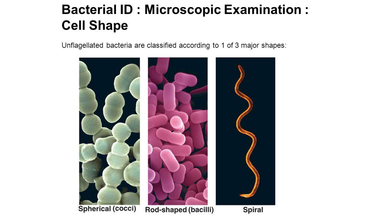 Microscopic Examination: Cell Shape: Coccus Coccus Diplococcus (paired) Staphylococcus Streptococcus (chain) Single Coccus