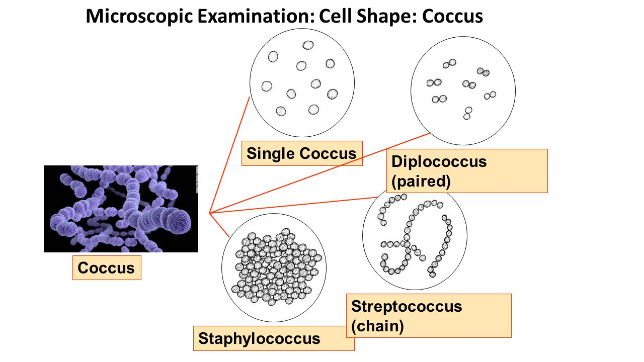 Microscopic Examination: Cell Shape: Coccus Coccus Diplococcus (paired) Staphylococcus Streptococcus (chain) Single Coccus