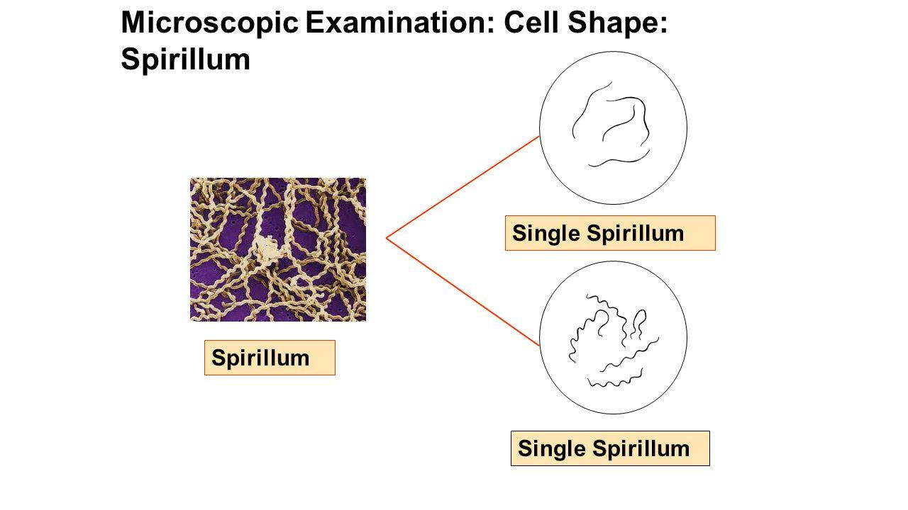I.EUBACTERIA Examine bacteria cultures both macroscopically and microscopically.