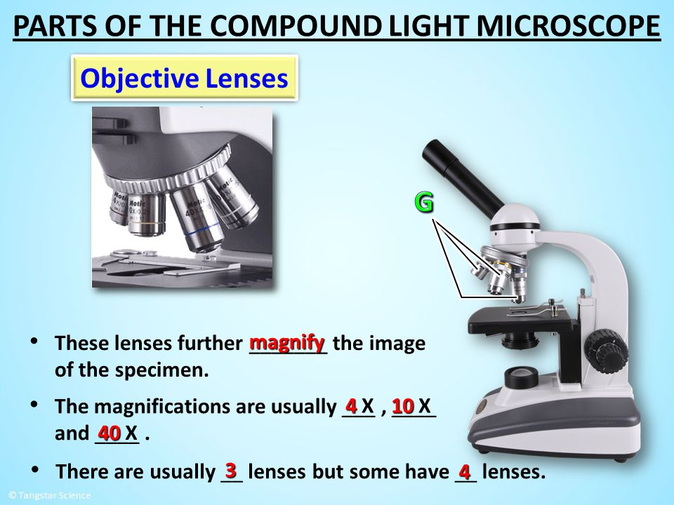 Objective Lenses These lenses further _______ the image of the specimen. magnify There are usually __ lenses 3 but some have __ lenses. 4 The magnific