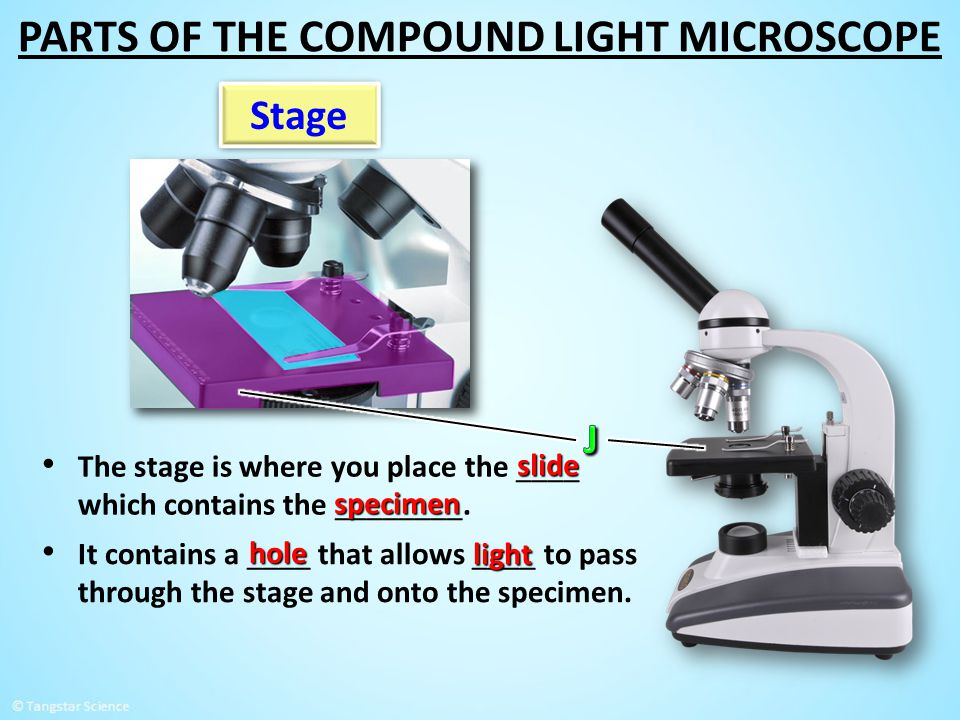 Stage The stage is where you place the ____ which contains the ________. slide specimen It contains a ____ that allows ____ to pass through the stage