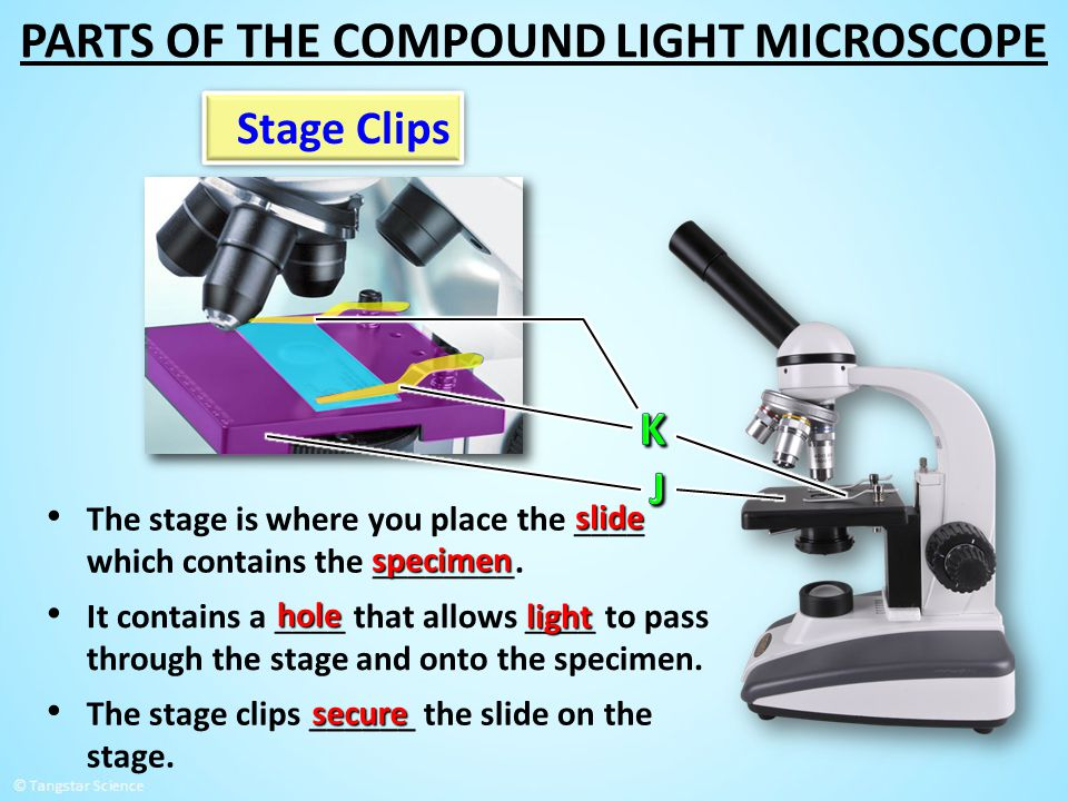 Stage Clips The stage is where you place the ____ which contains the ________. slide specimen The stage clips ______ the slide on the stage. secure It