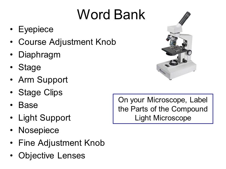 Word Bank Eyepiece Course Adjustment Knob Diaphragm Stage Arm Support Stage Clips Base Light Support Nosepiece Fine Adjustment Knob Objective Lenses On your Microscope, Label the Parts of the Compound Light Microscope