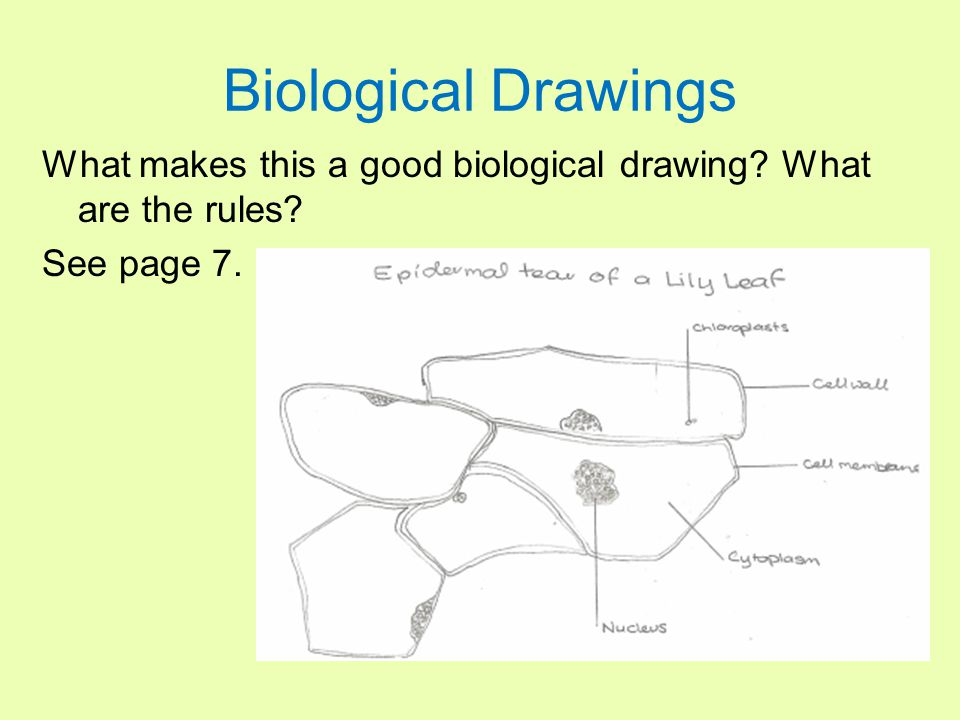 Biological Drawings What makes this a good biological drawing? What are the rules? See page 7.