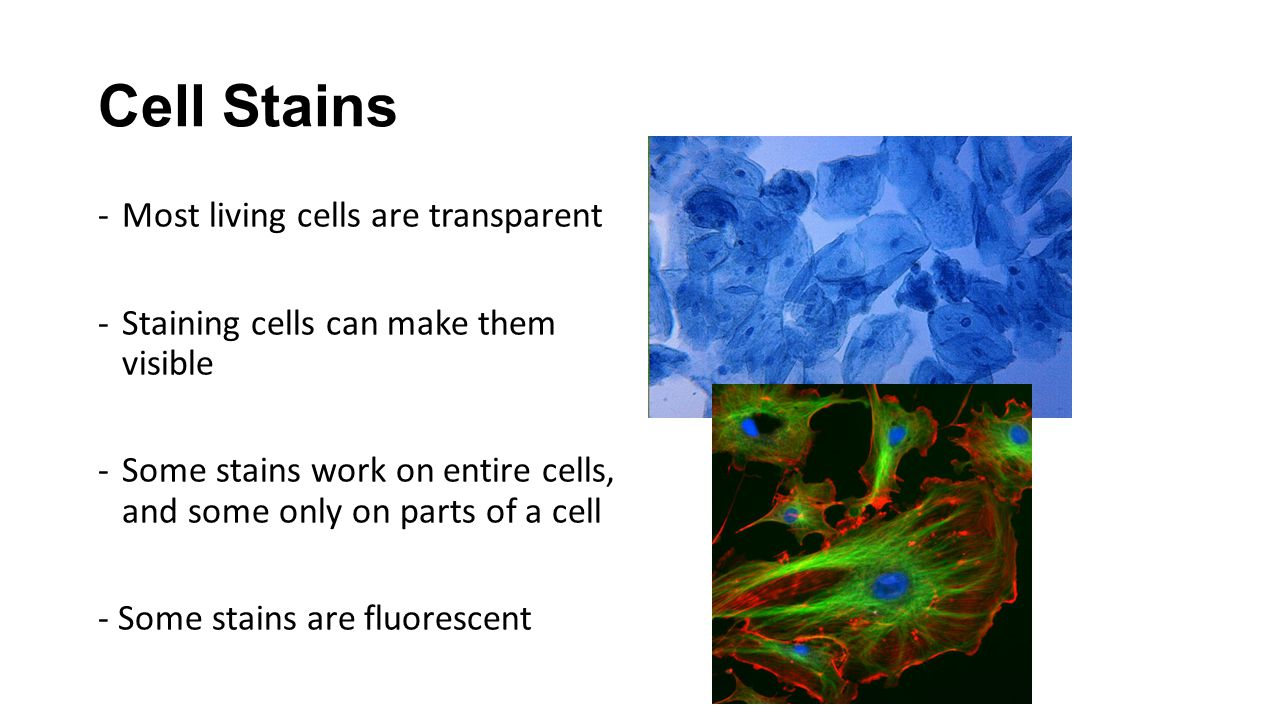 Cell Stains -Most living cells are transparent -Staining cells can make them visible -Some stains work on entire cells, and some only on parts of a ce