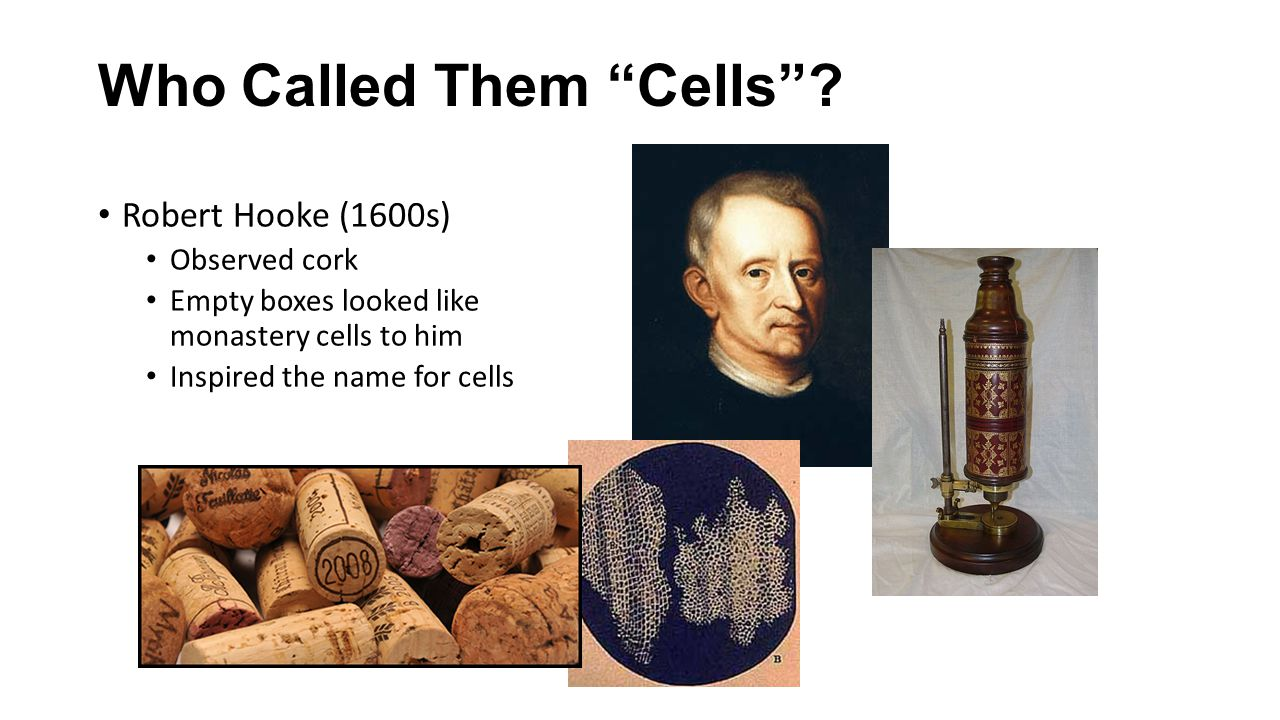 The Cell Theory - Matthias Schleiden (1800s) -Stated that all plants are made of cells - Theodor Schwann (1800s) -Stated that all animals are made of cells - Rudolf Virchow (1800s) -Cells can only be produced by existing cells