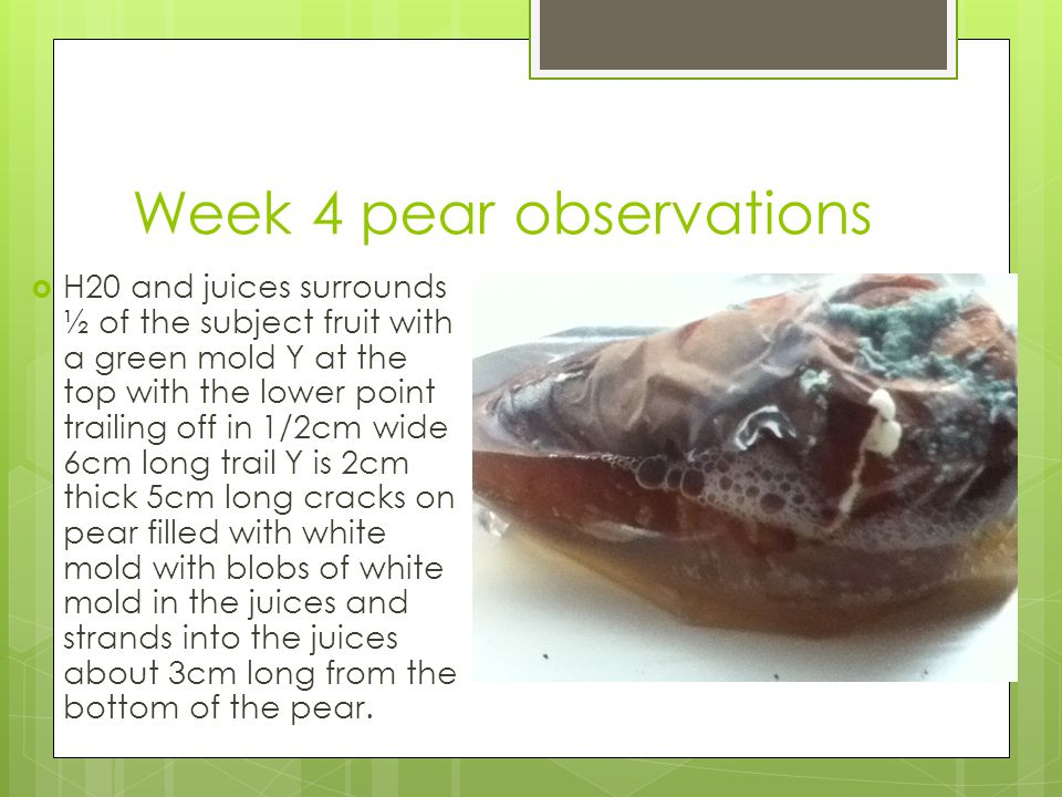 Week 4 pear observations  H20 and juices surrounds ½ of the subject fruit with a green mold Y at the top with the lower point trailing off in 1/2cm wide 6cm long trail Y is 2cm thick 5cm long cracks on pear filled with white mold with blobs of white mold in the juices and strands into the juices about 3cm long from the bottom of the pear.