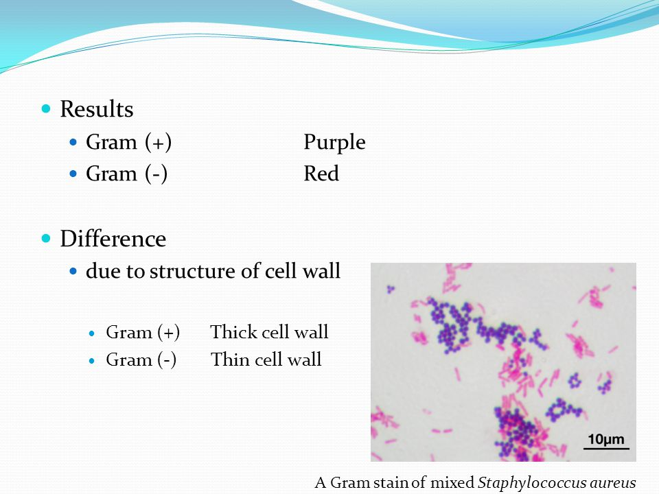 Results Gram (+)Purple Gram (-)Red Difference due to structure of cell wall Gram (+) Thick cell wall Gram (-) Thin cell wall A Gram stain of mixed Sta