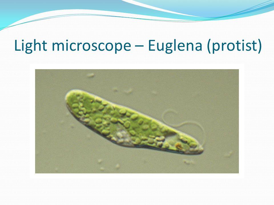 Light microscope – Euglena (protist)