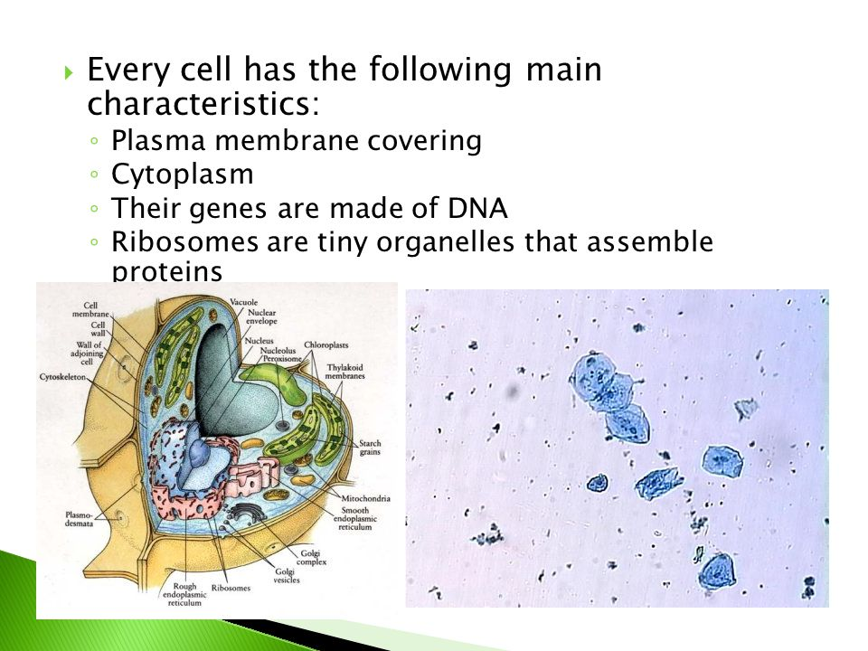  Every cell has the following main characteristics: ◦ Plasma membrane covering ◦ Cytoplasm ◦ Their genes are made of DNA ◦ Ribosomes are tiny organelles that assemble proteins