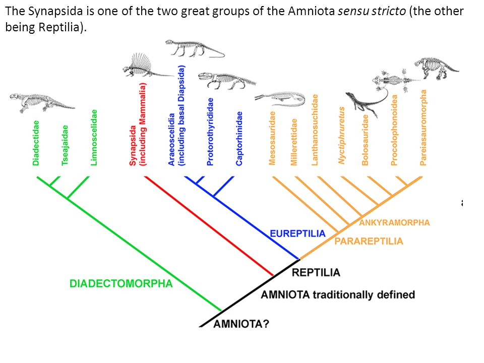 The Synapsida is one of the two great groups of the Amniota sensu stricto (the other being Reptilia).