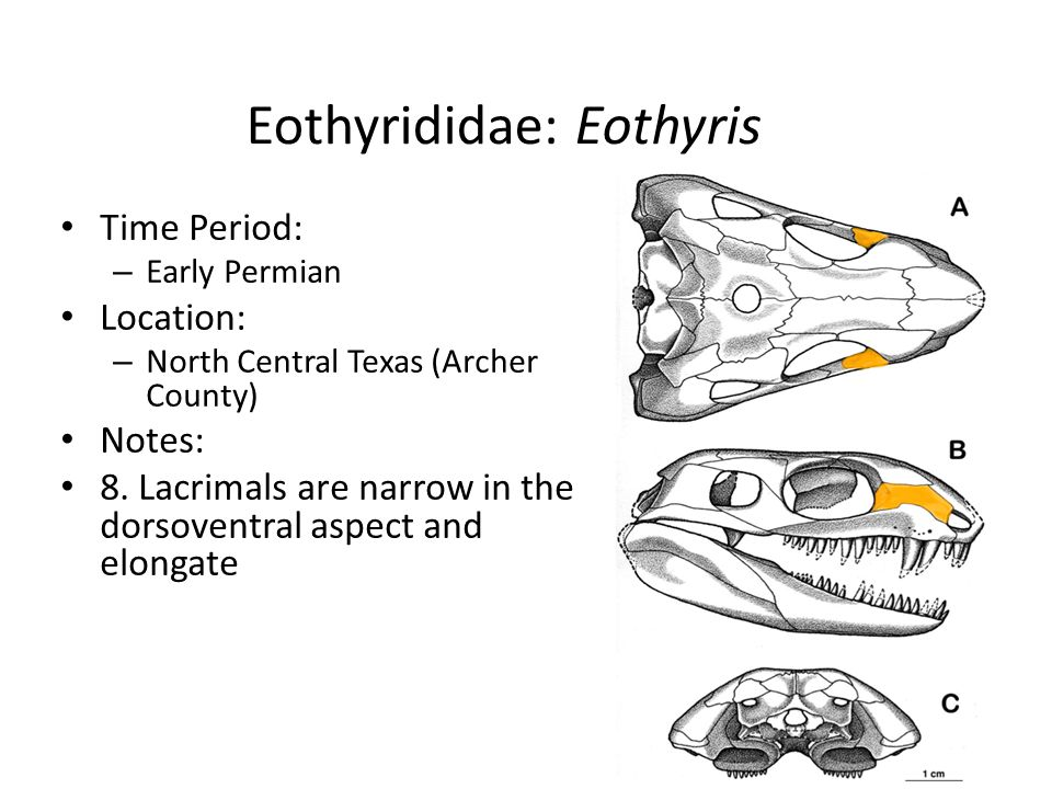 Eothyrididae: Eothyris Time Period: – Early Permian Location: – North Central Texas (Archer County) Notes: 8. Lacrimals are narrow in the dorsoventral