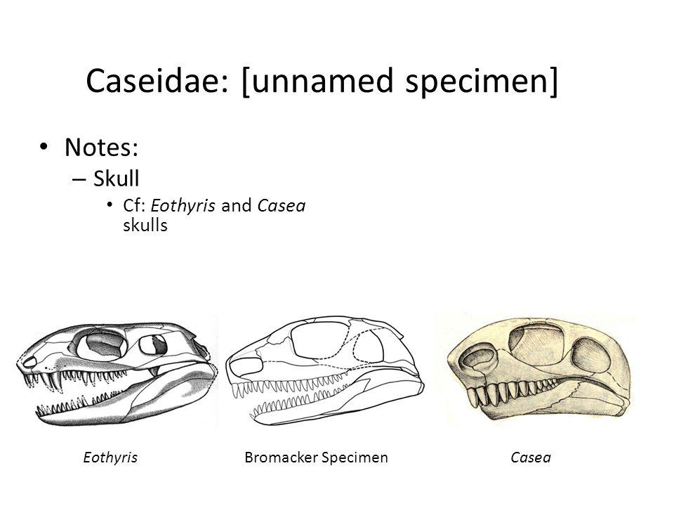 Caseidae: [unnamed specimen] Notes: – Skull Cf: Eothyris and Casea skulls EothyrisBromacker SpecimenCasea