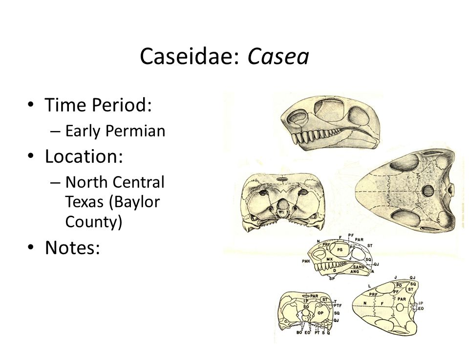 Caseidae: Casea Time Period: – Early Permian Location: – North Central Texas (Baylor County) Notes: