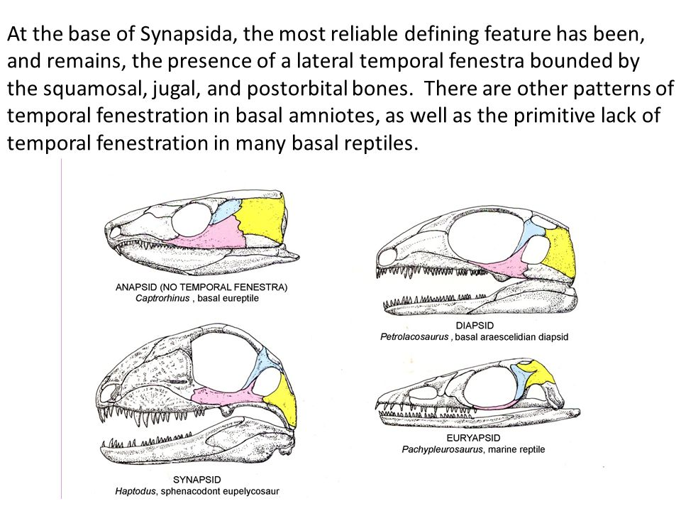 At the base of Synapsida, the most reliable defining feature has been, and remains, the presence of a lateral temporal fenestra bounded by the squamosal, jugal, and postorbital bones.