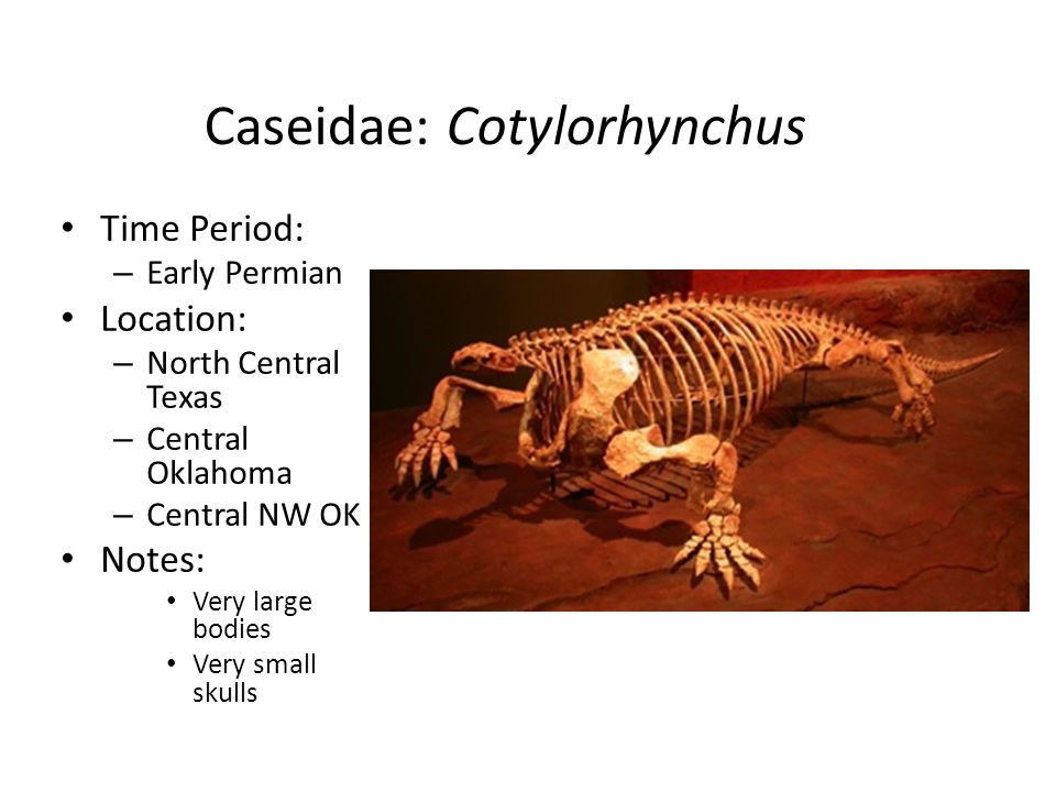 Caseidae: Cotylorhynchus Time Period: – Early Permian Location: – North Central Texas – Central Oklahoma – Central NW OK Notes: Very large bodies Very small skulls
