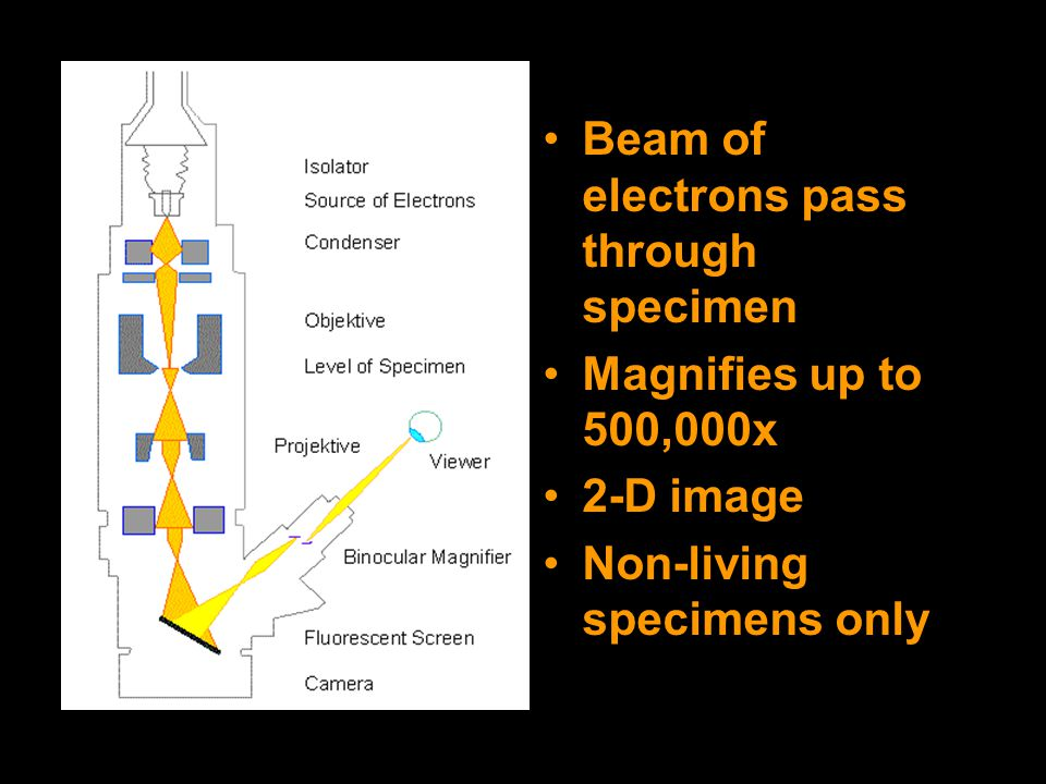 TEM Beam of electrons pass through specimen Magnifies up to 500,000x 2-D image Non-living specimens only