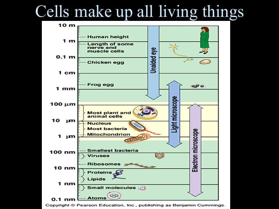 Cells make up all living things