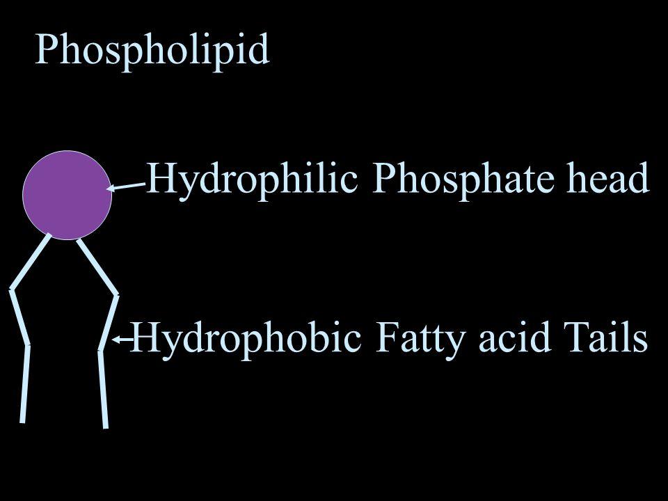 Phospholipid Hydrophilic Phosphate head Hydrophobic Fatty acid Tails