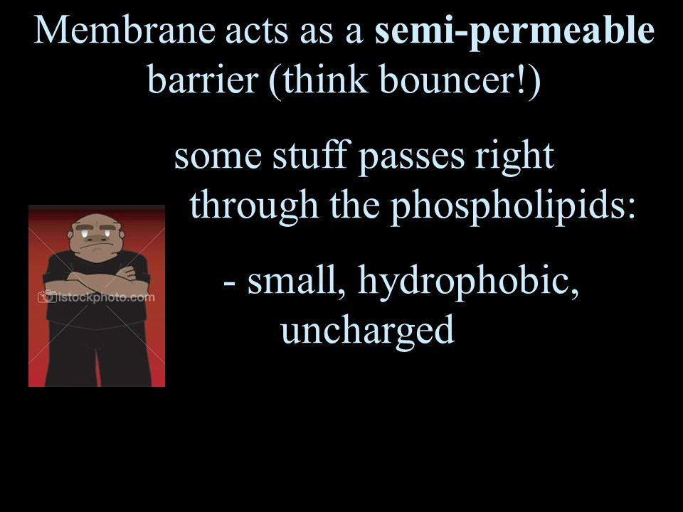 Membrane acts as a semi-permeable barrier (think bouncer!) some stuff passes right through the phospholipids: - small, hydrophobic, uncharged