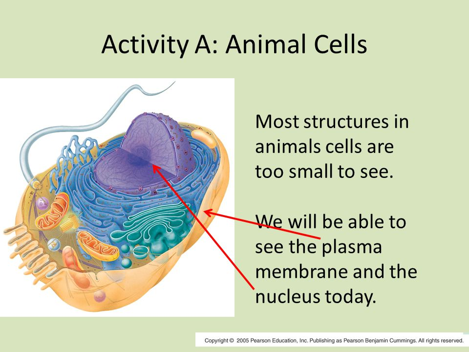 Activity A: Animal Cells Most structures in animals cells are too small to see.
